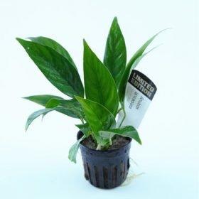 Anubias congensis plante aquarium tropica