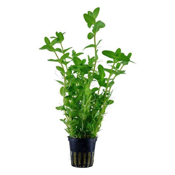 Bacopa Caroliniana plante aquarium tropica