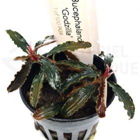 Bucephalandra Godzilla kedagang red