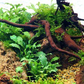 Schismatoglottis Prietoiplante aquarium