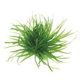 blyxa japonica plante aquarium