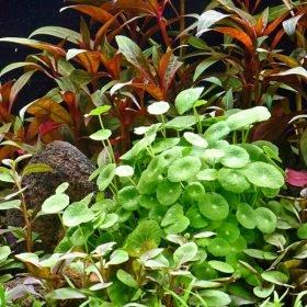 Hydrocotyle Verticillata plante aquarium