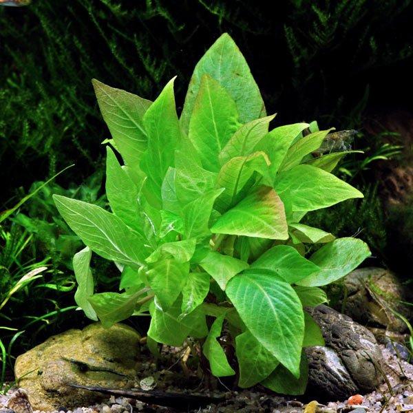 Hygrophila Corymbosa Compact plante aquarium