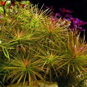 Pogostemon Stellatus plante aquarium