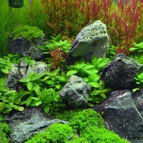 Staurogyne repens pot plante aquarium