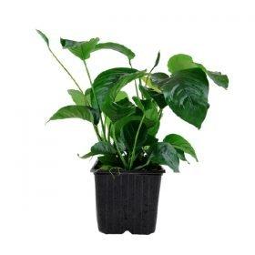 Anubias barteri var caladiifolia XL