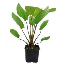 Echinodorus Barthii plante aquarium